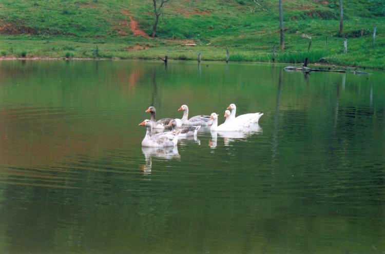 ducks-family-1316797-1598x1055
