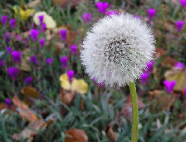 dandelion-1406899